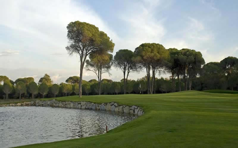 umbrella pines surround the 11th green